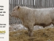 charolais-bull-for-sale-601_8172