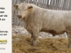 charolais-bull-for-sale-601_8174