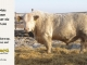 charolais-bull-for-sale-605_8068