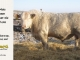 charolais-bull-for-sale-605_8069