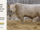 charolais-bull-for-sale-605_8166