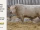 charolais-bull-for-sale-605_8167