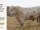 charolais-bull-for-sale-608_8161
