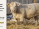 charolais-bull-for-sale-616_8034