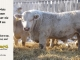 charolais-bull-for-sale-616_8062