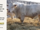 charolais-bull-for-sale-616_8078