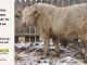 charolais-bull-for-sale-616_8163