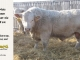 charolais-bull-for-sale-631_8075