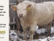 charolais-bull-for-sale-631_8156