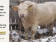charolais-bull-for-sale-631_8157