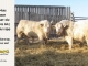 charolais-bull-for-sale-632_505_8064
