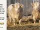 charolais-bull-for-sale-632_631_8042