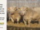 charolais-bull-for-sale-632_631_8044