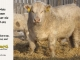 charolais-bull-for-sale-632_8039