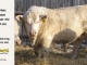charolais-bull-for-sale-632_8063