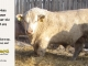 charolais-bull-for-sale-632_8065