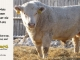 charolais-bull-for-sale-632_8072
