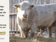 charolais-bull-for-sale-632_8076