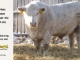 charolais-bull-for-sale-632_8077