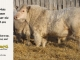 charolais-bull-for-sale-634_8054