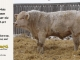 charolais-bull-for-sale-637_8162