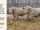 charolais-bull-for-sale-638_531_8170