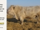 charolais-bull-for-sale-638_8073