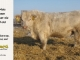charolais-bull-for-sale-638_8074