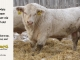 charolais-bull-for-sale-638_8171