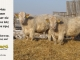 charolais-bull-for-sale-641_635_8053