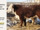 de-horned-hereford-bull-for-sale-1---_8098