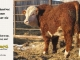 de-horned-hereford-bull-for-sale-1---_8683