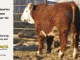 de-horned-hereford-bull-for-sale-1---_8684