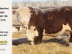 de-horned-hereford-bull-for-sale-1576_8084