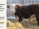 de-horned-hereford-bull-for-sale-1579_8101