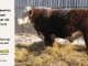 de-horned-hereford-bull-for-sale-1579_8104