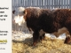 de-horned-hereford-bull-for-sale-1579_8105