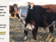 de-horned-hereford-bull-for-sale-1579_8666