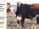 de-horned-hereford-bull-for-sale-1579_8667