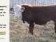 de-horned-hereford-bull-for-sale-1579_8669