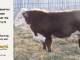 de-horned-hereford-bull-for-sale-1579_8670