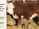 de-horned-hereford-bull-for-sale-1579_8680