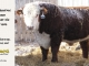 de-horned-hereford-bull-for-sale-1606_8089