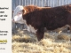 de-horned-hereford-bull-for-sale-1609_8686