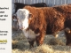 de-horned-hereford-bull-for-sale-1609_8687