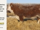 de-horned-hereford-bull-for-sale-1610_8082
