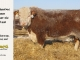 de-horned-hereford-bull-for-sale-1610_8083