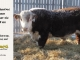 de-horned-hereford-bull-for-sale-1611_8088