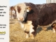 de-horned-hereford-bull-for-sale-1611_8093