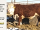de-horned-hereford-bull-for-sale-1612_8682